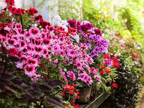 Pelargonie, muškáty, milují slunce a kvetou po celou sezónu