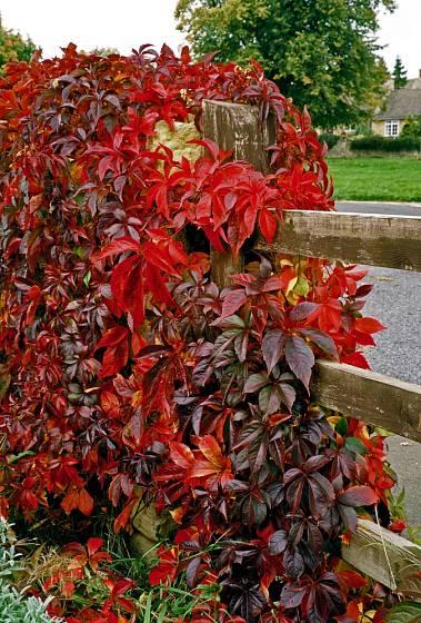 Přísavník pětilistý v podzimní zbarvení.