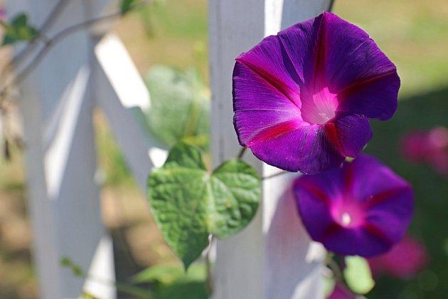 Povijnice batátová kvete různě barevnými a velkými květy.