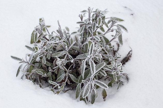 Pár lístků otužilé šalvěje si proti bolení v krku můžeme nasbírat i v zimě