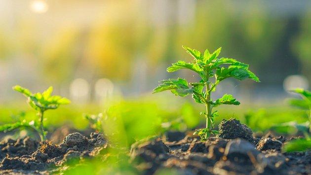 Pro chryzantémy jsou nejvhodnější směsi rašeliny a zeminy.