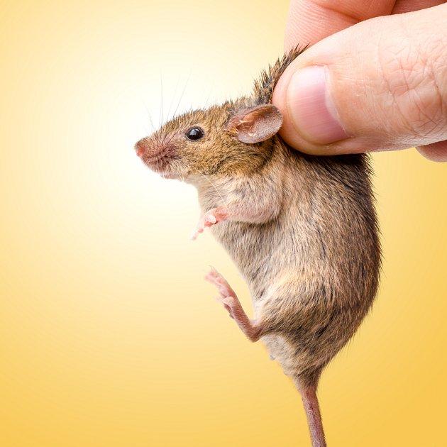 Lapená myška v zajetí nemusí přežít víc, než pár hodin.