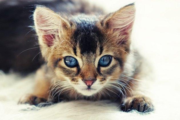 Divoce zbarvená somálská kočka (ruddy).