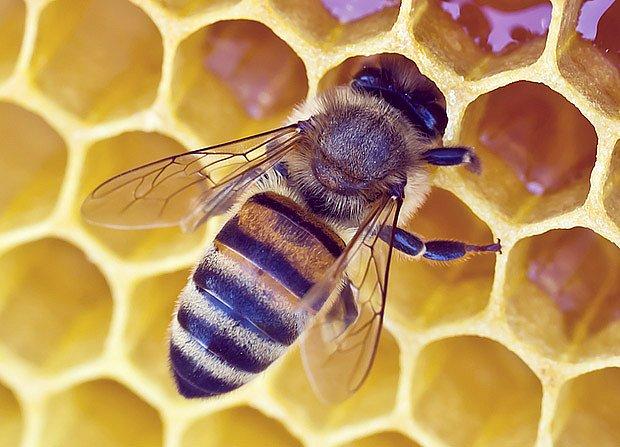 Včely v plástvích tvoří z nektaru med