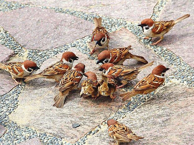 vrabci ve městě mají nedostatek obživy a vody
