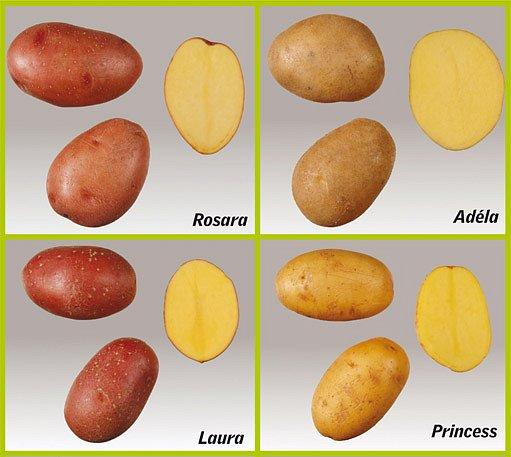 odrůdy brambor