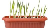Česnekovou nať můžete pěstovat v květináči či truhlíku