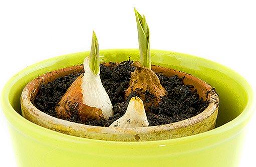 Narcisy, hyacinty i tulipány nejlépe raší  na teplém a světlém místě