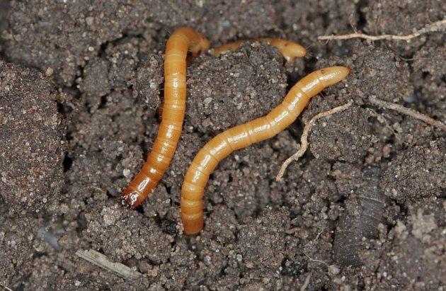 Larvy kovaříků žijí v půdě po několik let