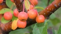 Žlutoplodá okrasná jabloň Malus x zumi