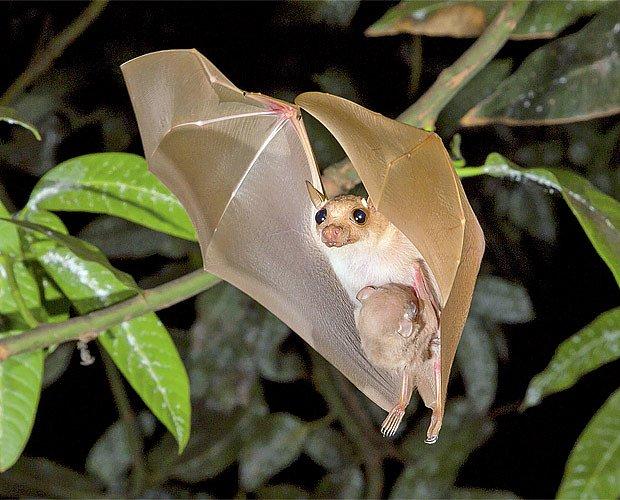 Samičky tropických kaloňů létají s mláďaty na břiše