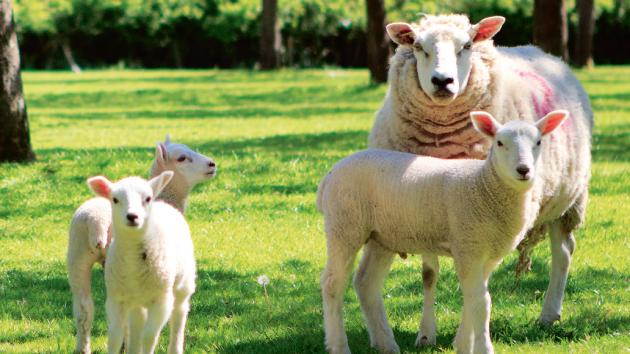 Ovce, kozy, a dokonce i polodivocí koně a poníci udržují louky v mnoha chráněných oblastech