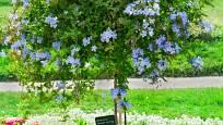 Olověnec lze s úspěchem zapěstovat jako stromek na vysokém kmínku.