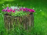 Petúnie, surfinie nebo million bells jsou rostliny, které v pařezech dokonale vyniknou.