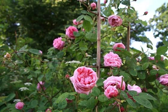 Ušlechtilou vůní vyniká růže stolistá