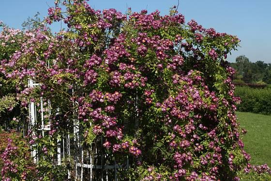 Veilchenblau (Schmidt, Německo, 1909). Zvláštní namodrale fialová barva, květ je asi 5 cm, voní; růže je skoro bezostná, vysoká 3,5 m. Jednou kvetoucí