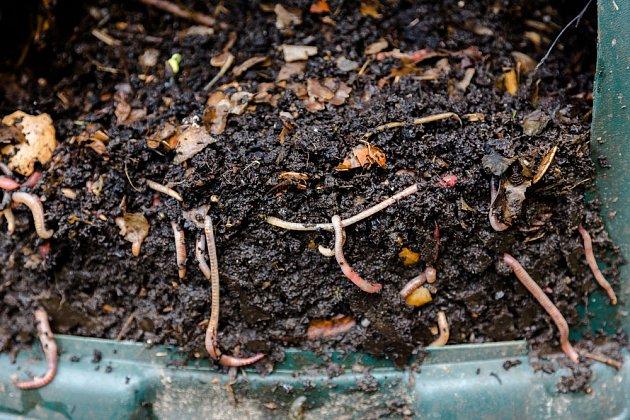 Žížaly pomáhají s procesy v kompostu, velmi jim chutná kávová sedlina.