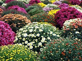 Chryzantémy zapěstované do kompaktních tvarů jsou ozdobou podzimní zahrady, nejčastěji v nádobách