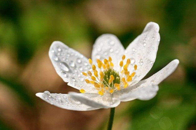 sasanka hajní (Anemone nemorosa)