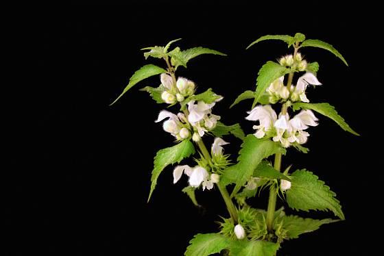 Hluchavka bílá patří k oblíbeným léčivým bylinám.