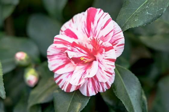 Žíhané květy kamélií patří k těm nejkrásnějším.