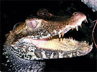 Jak chovat krokodýla