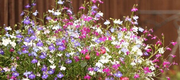 Půvabné lobelky můžete pěstovat ve více barvách