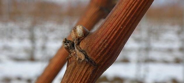 Zimní očko na jednoletém dřevě