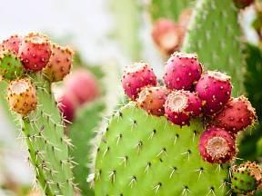 Kaktus opuncie pochází z Mexika, kde ho odedávna mnohostranně využívali tamní Indiáni