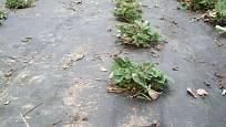 Jahodníky je snadné pěstovat v mulčovací textilii