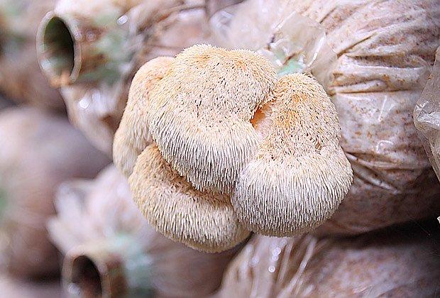 Pěstování korálovce ježatého
