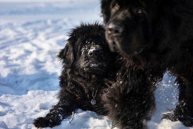 Novofundlandští psi má mezi předky možná i moskevské vodní psy.