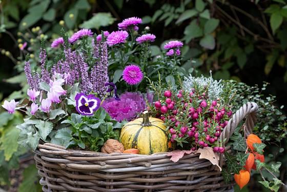 Podzimní aranžmá v proutěném koši: brambořík, vřes, maceška, okrasné zelí, krásnohlávek, libavka, hvězdnice.