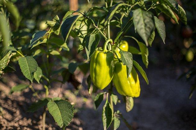 Papriky budou mít skvělou chuť i barvu, když o ně budete pečovat společně s jedlou sodou.