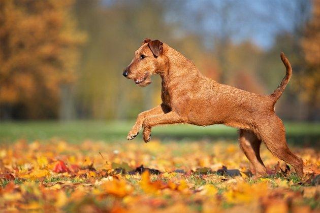 Irský teriér. Využíval jako zdatný lovecký, hlídací i pastevecký pes