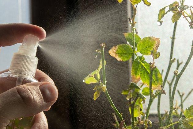 Postřik ze skořice a vody dokáže urychlit léčbu napadených rostlin.