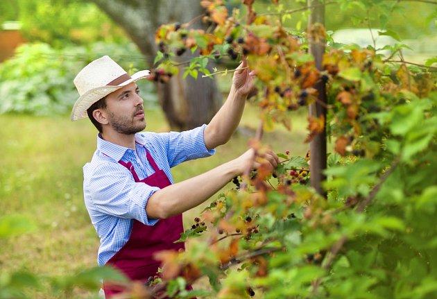Beztrnné odrůdy ostružin se sklízejí snáze
