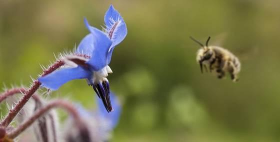 Brutnák nabízí nektar od jara do podzimu, rozkvétá postupně po celou sezónu