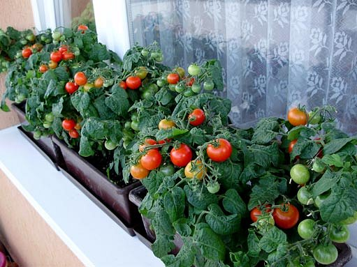 Cherry rajčátka - foto čtenářka iReceptáře