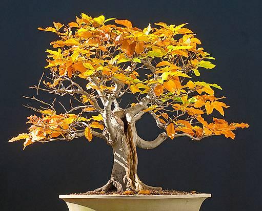 bonsaj dub