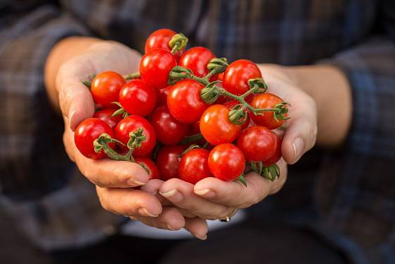 Doma vypěstovaná rajčátka jsou nesladší, na odrůdě však záleží také