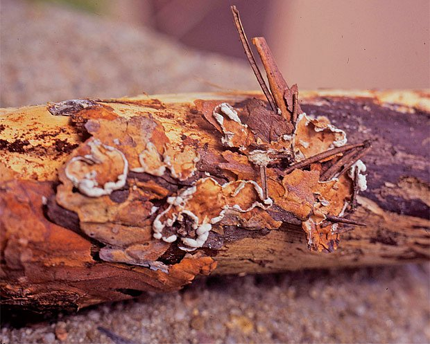 Cytidiella albomellea