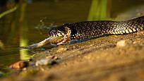 Užovka obojková je nejrozšířenější evropský nejedovatý had.