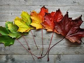 Proměna zbarvení javorového listu.