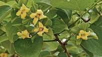 Kvetoucí tomel japonský (Diospyros kaki), známý jako kaki.