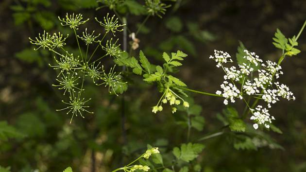 Od června do srpna kvete kerblík bílými okoličnatými květy.