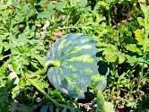 Zkroucená stopka - jeden ze signálů zralého melounu.