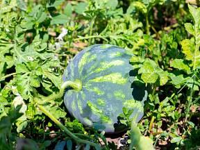 Zkroucená stopka – jeden ze signálů zralého melounu.