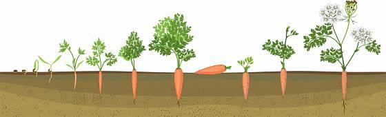 Životní cyklus dvouleté zeleniny: Semena získáme až druhým rokem