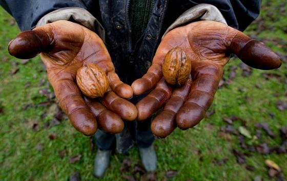 Barvivo z ořechových slupek je velmi důkladné.